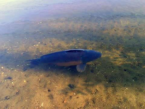 karpfen-schwimmend