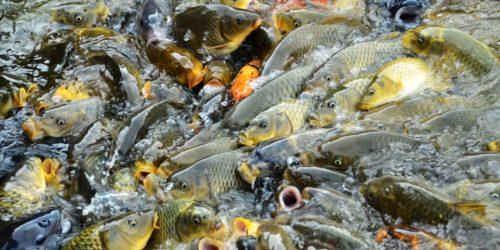 Karpfenarten in unseren Gewässern